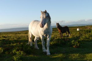 Wild Ponies on Gower