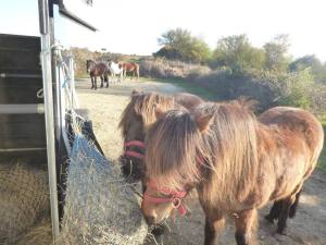 Wild ponies after our hay