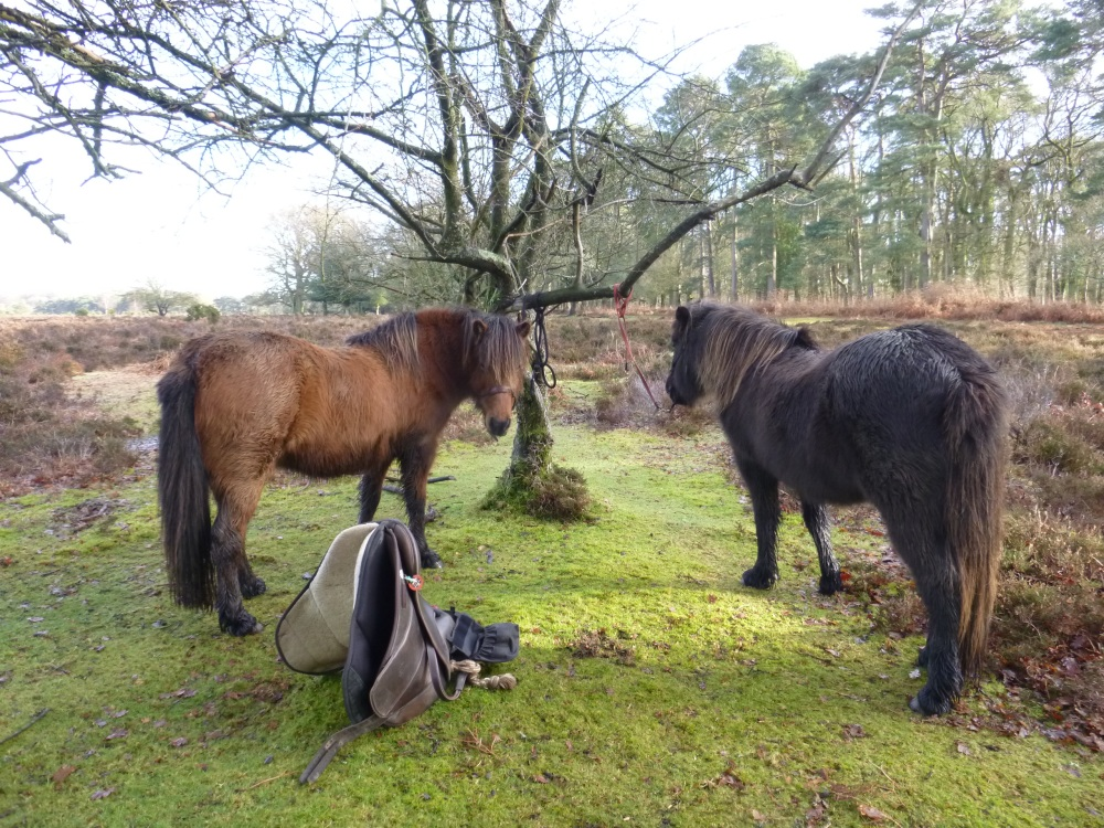 The Ramblings of Icelandic Horses in the New Forest (3/6)