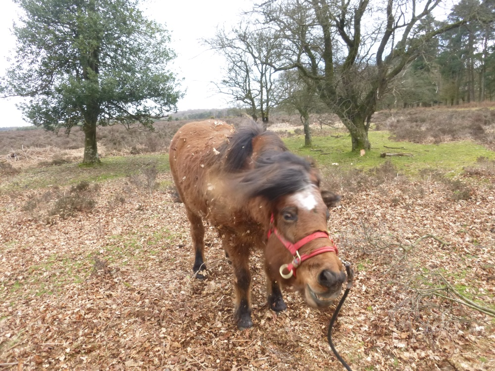 The Ramblings of Icelandic Horses in the New Forest (4/6)