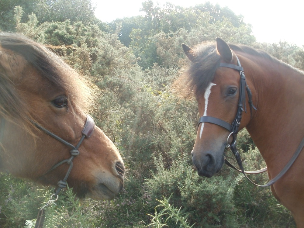 The Ramblings of Icelandic Horses in the New Forest (6/6)